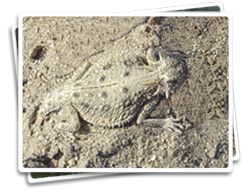 Flat-Tailed Horned Lizard photo