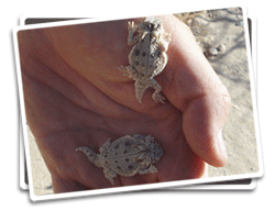 Baby flat-tailed horned lizards photo